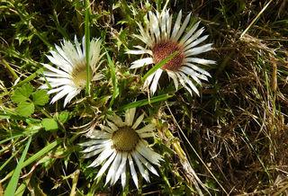 Die Silberdistel, sie öffnet die silbrigen Blütenblätter bei schönem Wetter und zeigt an, wenn es feucht wird, indem sie sich schließt. Eigentlich schon ein frühherbstliches Zeichen.