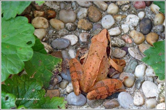Den kleinen Frosch sehe ich immer beim Gießen. Er dürfte wasserscheu sein.