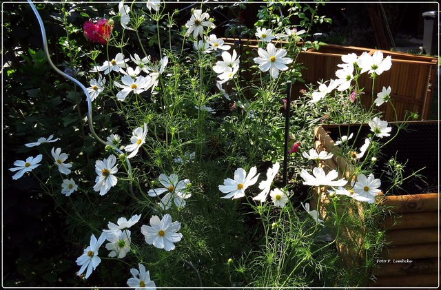 Die Cosmea ist prächtig anzusehen. Die Blüten sind auf einem Stamm.
