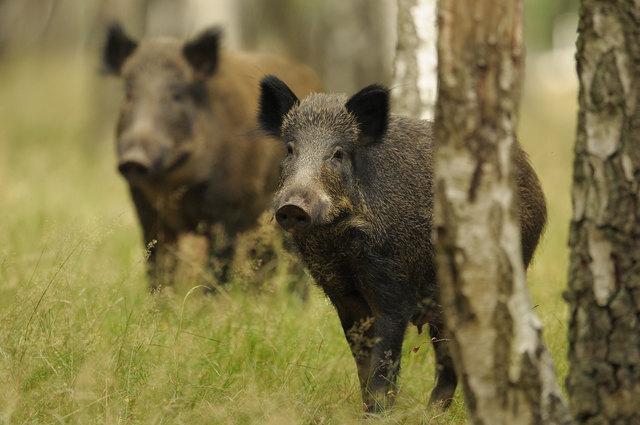 Wildschweine sind kein Problem, denn sie lockern den Boden auf.
