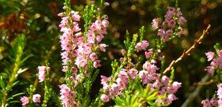 Die Besenheide mit ihren lieblichen Blüten hätte sich wohl einen schöneren Namen verdient. Nur der Ursprung dazu wird wohl weit in die Vergangenheit reichen.