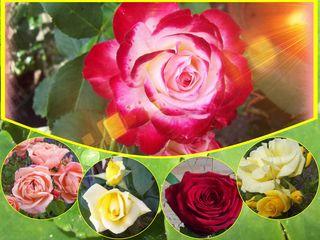 Spielerei mit Rosen