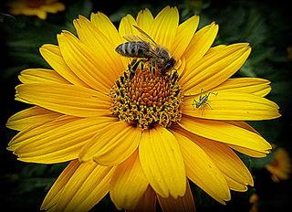 Biene-Maja  mit  Grashüpfer Flip