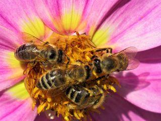 ... herrscht da auf der Dahlienblüte. Bienen mögen es eben in jeder Lebenslage gesellig...