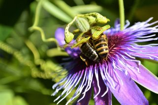 ... heißt es für diese beiden Bienen, damit sie an das leckere Innerste der Passionsblumenblüte herankommen