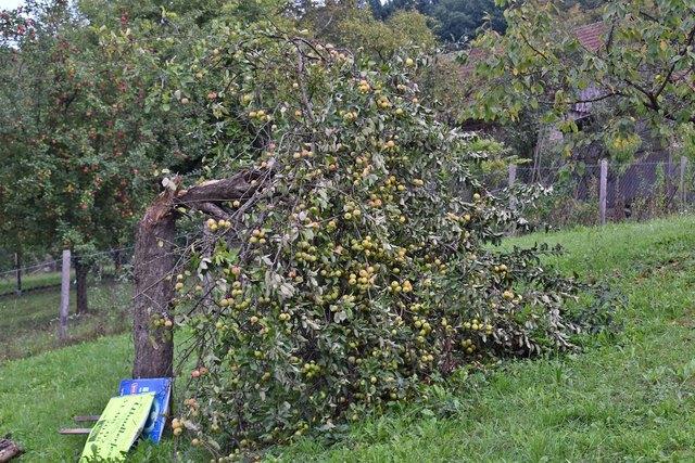 Beileibe kein Einzelfall: Zusammengebrochener Apfelbaum in Glasing.