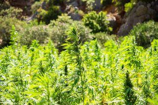 Nicht im Freien, sondern in seiner Wohnung züchtete der Afritzer Cannabis Pflanzen.