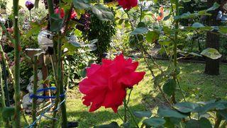 Ganz alleine ist sie derzeit die Rose