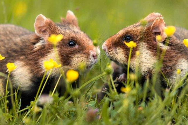 Die Hamster bei der Pädagogischen Hochschule werden nur wenig von den Bauarbeiten gestört.