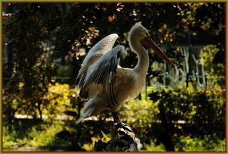 """Mit einer Flügelspannweite von rund 3 Metern ist der Krauskopfpelikan der größte Pelikan. Seinen Namen verdankt er den gekräuselten Federn am Kopf. Mit seinem mächtigen Schnabel erbeutet er bis zu 1,5 kg Fisch am Tag. Der stark dehnbare Hautsack am Unterschnabel dient dabei als eine Art """"Kescher"""", der Oberschnabel bildet den Deckel."""