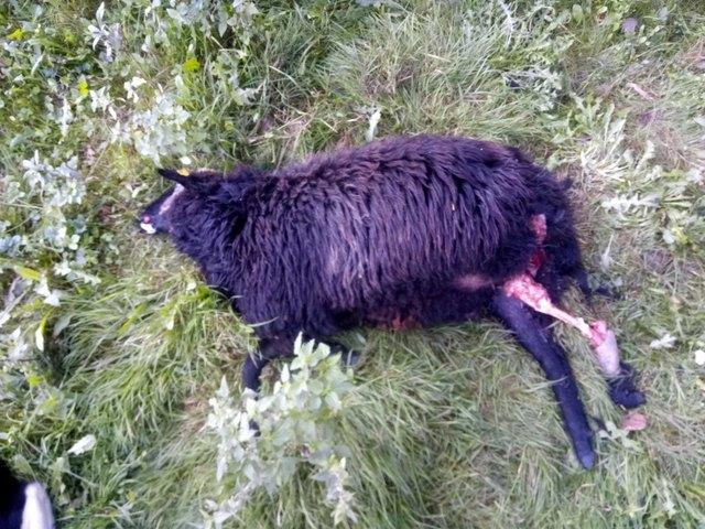 Tot: Zwei Schafe und fünf Ziegen.