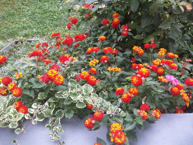 Balkonblumen Thema Auf Meinbezirk At