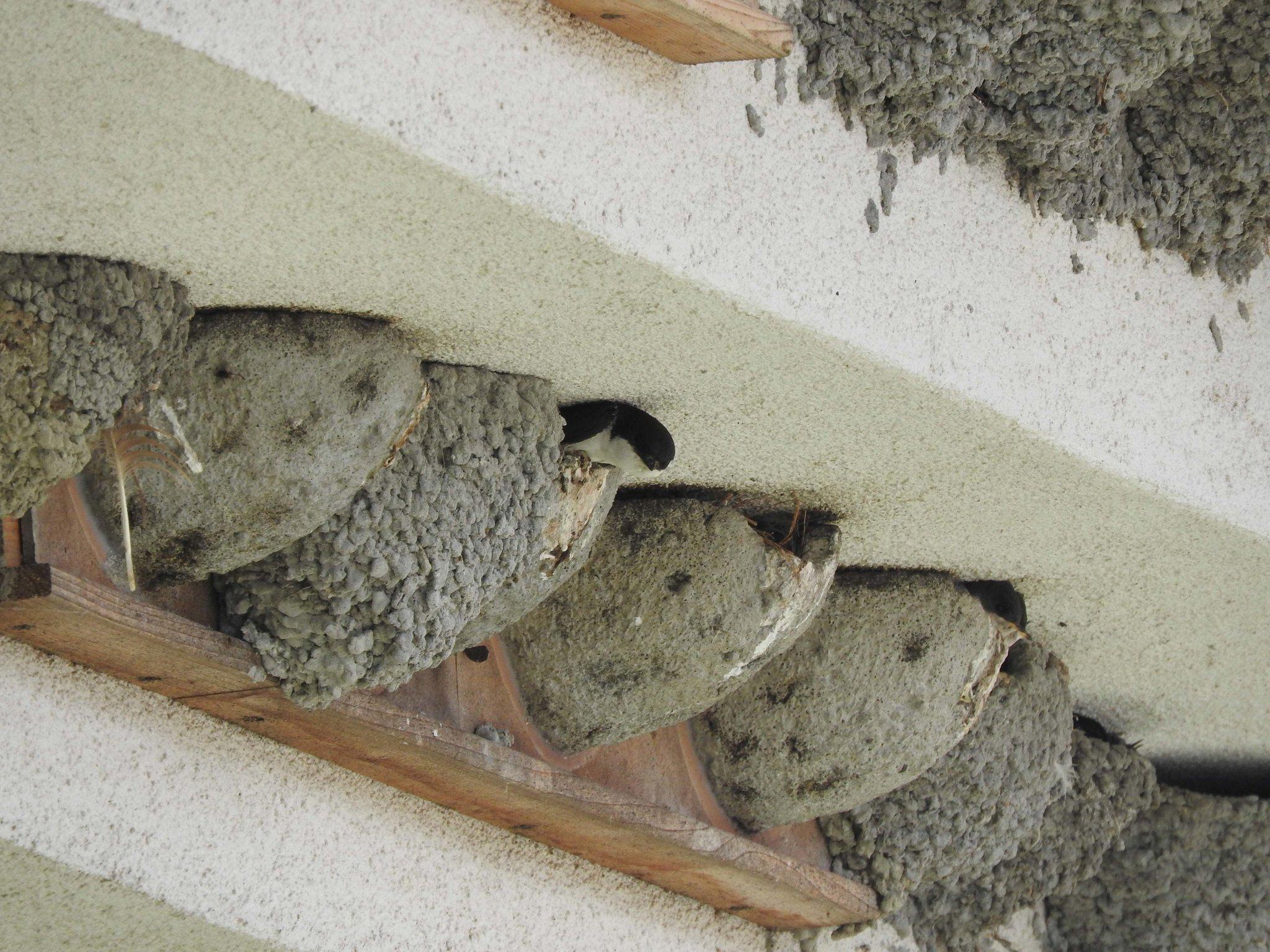 herbstputz am schwalbennest birdlife sterreich informiert ber schutzma nahmen f r schwalben. Black Bedroom Furniture Sets. Home Design Ideas