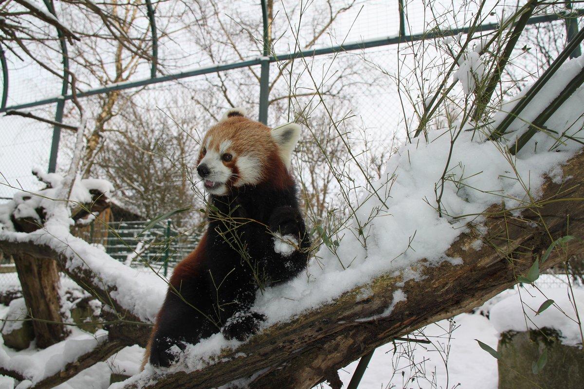 Zoo Linz Winterspaziergang Mit Den Roten Pandas Linz