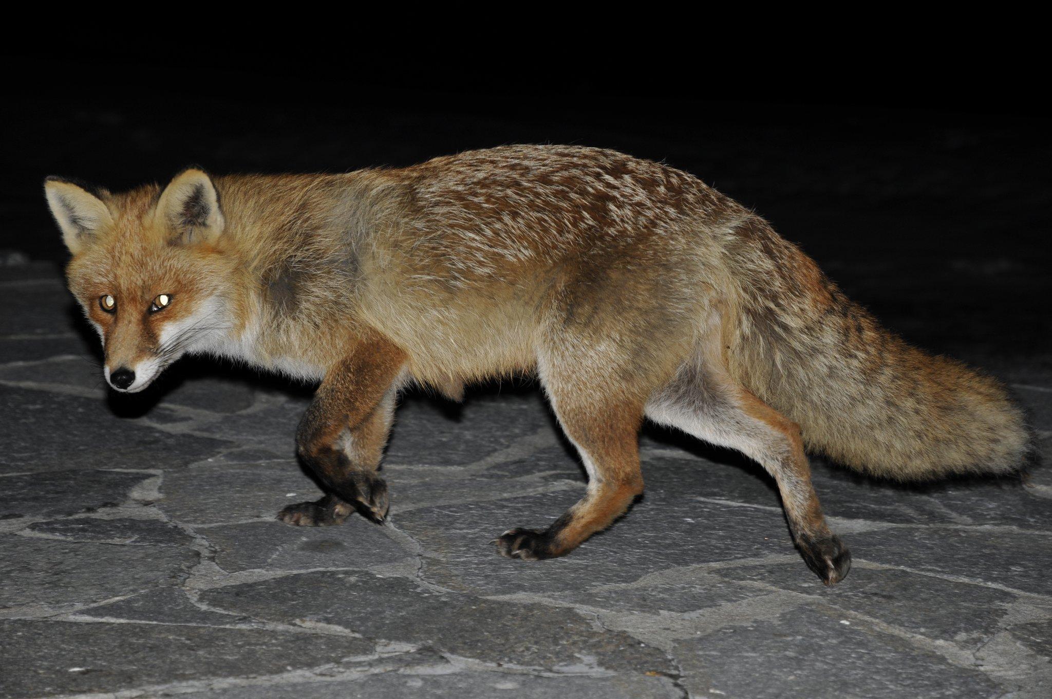 Fuchs-Staupe In Hernals: Hunde Gefährdet