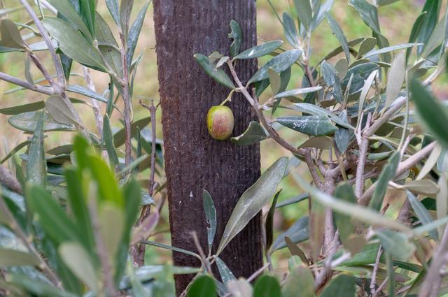 """Die """"erste"""" Ernte einer Olive in Freilandhaltung im Weinviertel"""