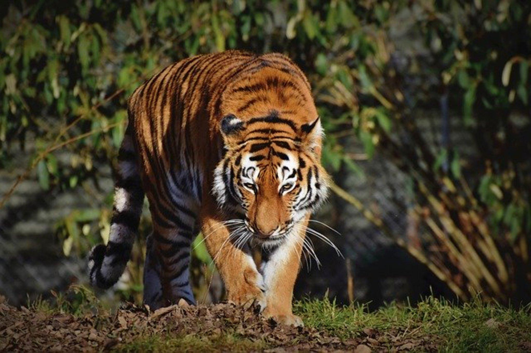 Tiger Dokumentation