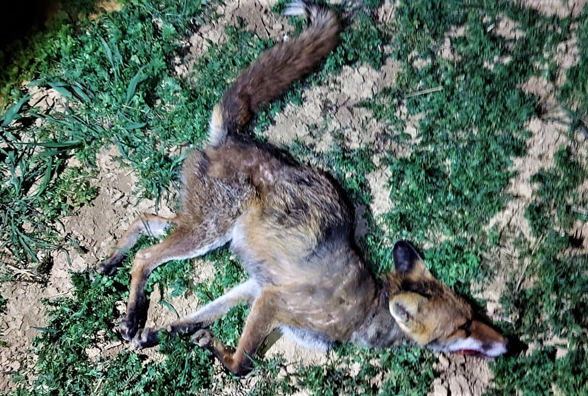 Vorsicht Hundebesitzer!: Fuchsräude auch im Jagdbezirk-Mistelbach.