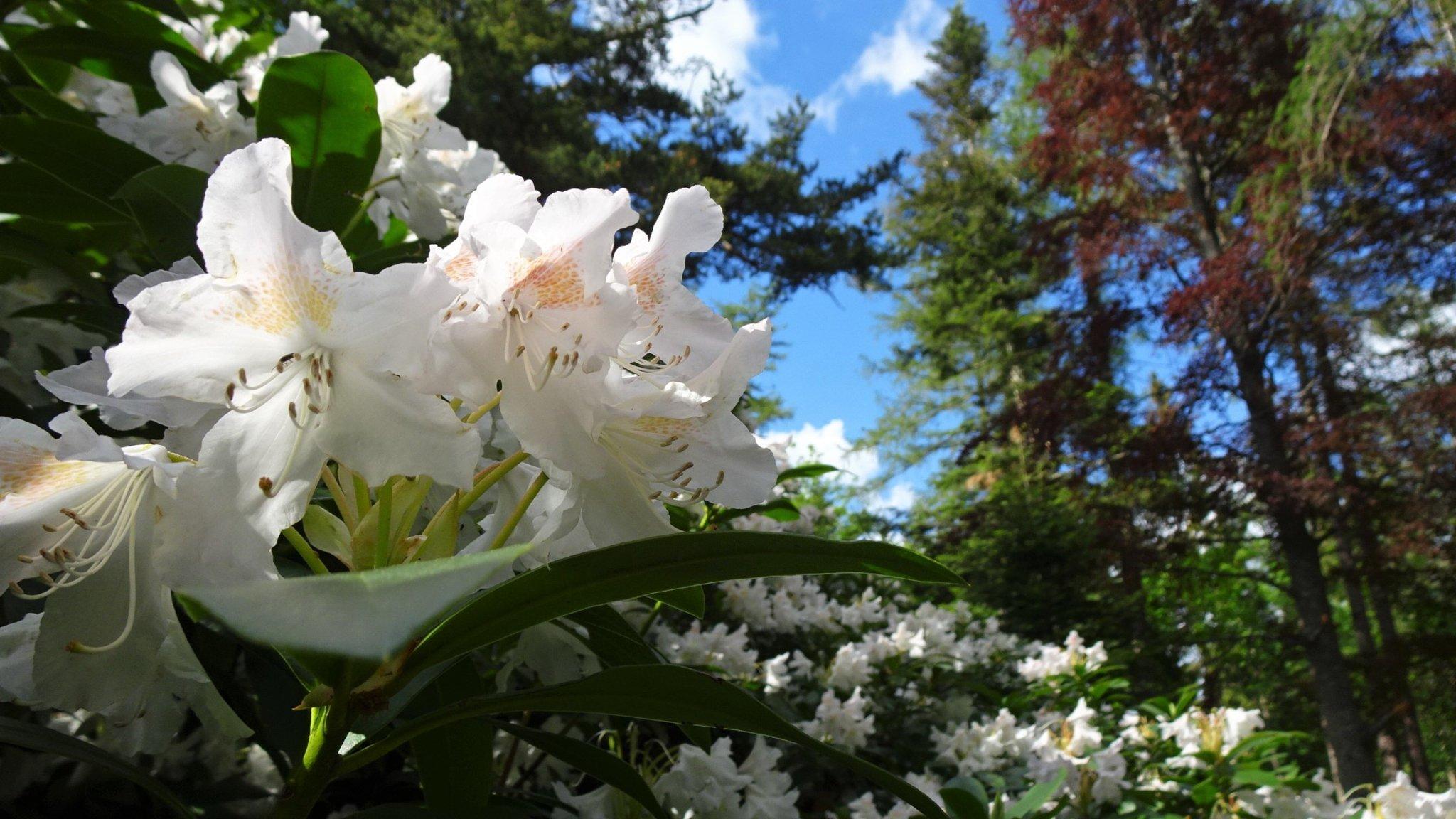 Der Himalaya-Riesenrhododendron auf dem Kreuzberg
