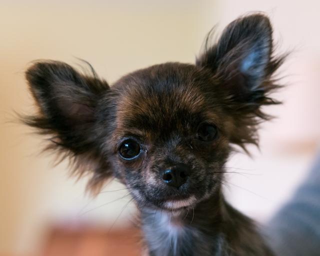 Chihuahua Thema Auf Meinbezirk At