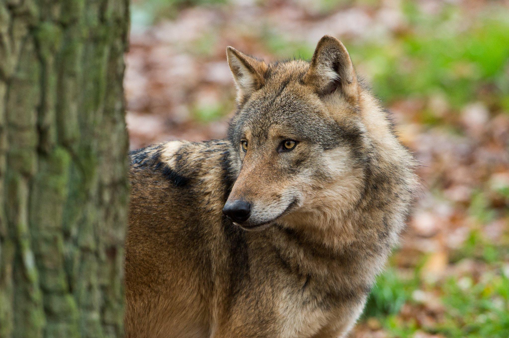 Wolf in Salzburg: