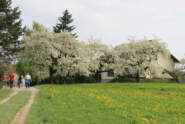Am Sonntag findet die 32. Kirschblütenwanderung statt.
