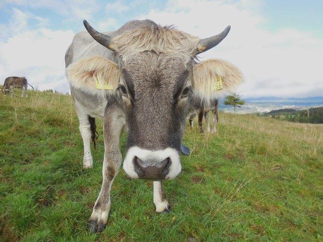 Am Freitag, den 20. April 2018 laden die Tiroler Grauviehzüchter der Viehzuchtvereine Kaltenbrunn und Kaunertal zur heurigen Frühjahrsausstellung recht herzlich ein.