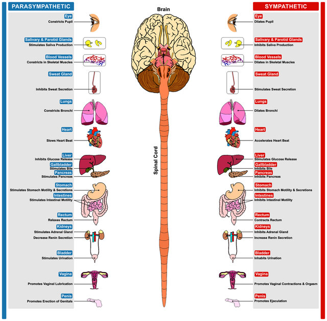 Vortrag: Autonomes Nervensystem - Neues zum Nervus Vagus