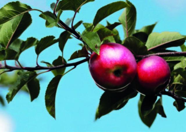 Obstbaume Richtig Schneiden Der Obstbaumschnittkurs In Tainach