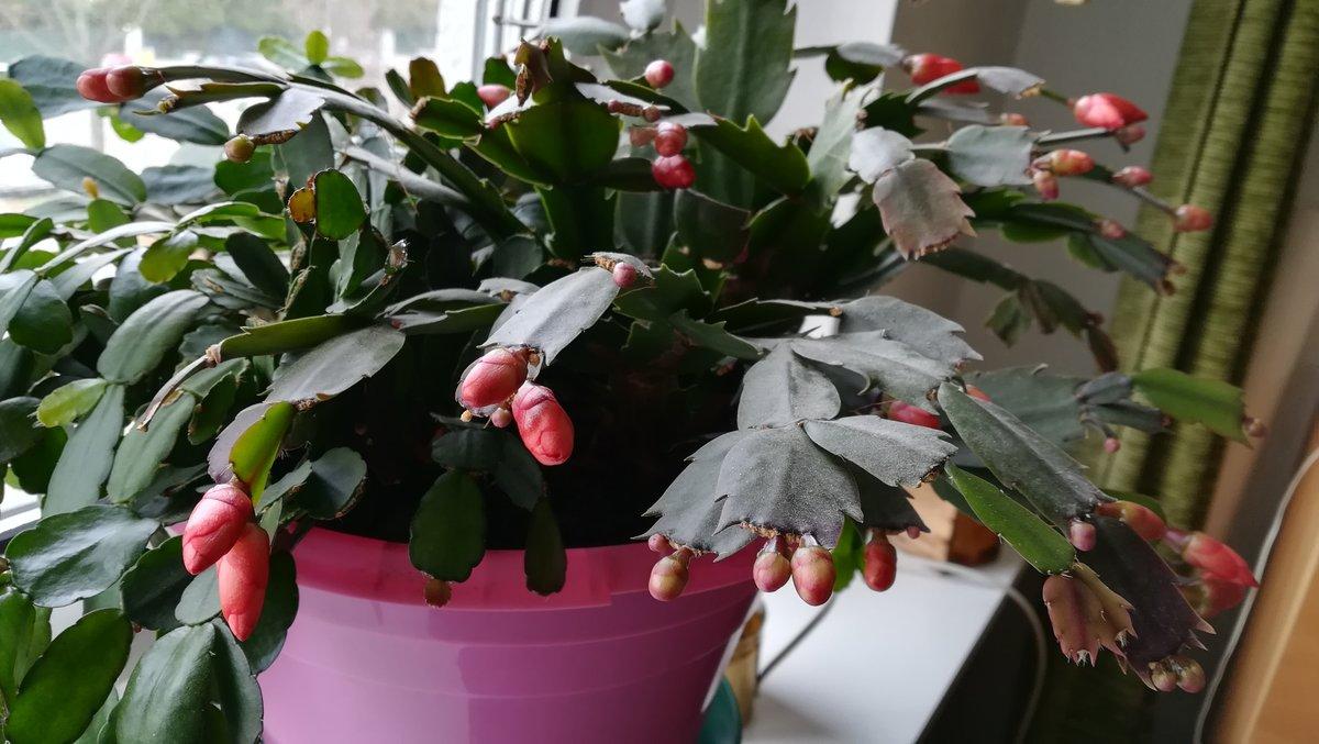 Weihnachtskaktus