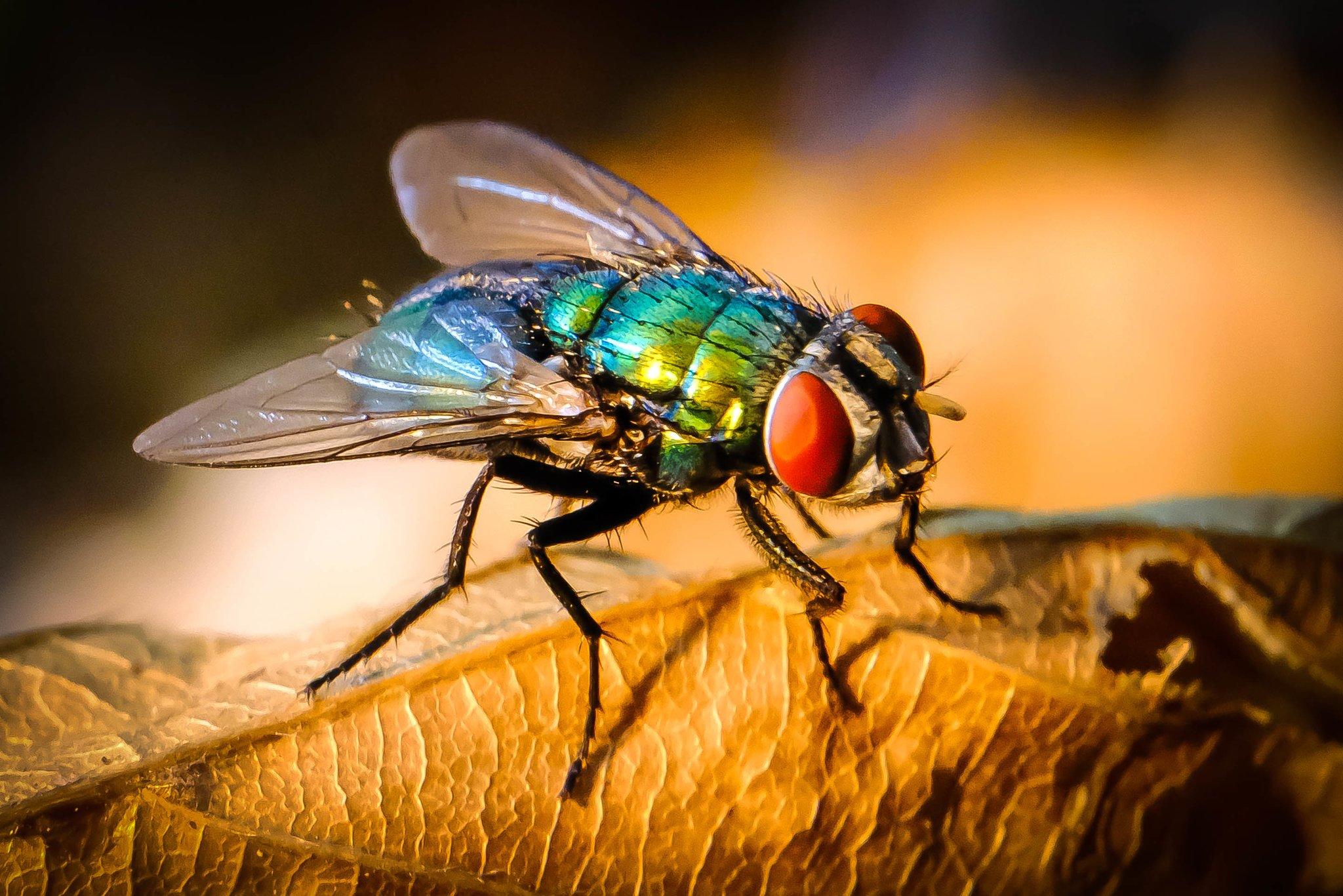Du Kleine Fliege Wenn Ich Dich Kriege