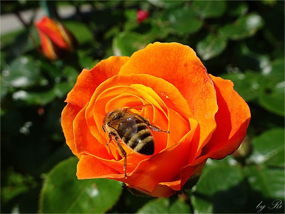 Moments and Thoughts - Von Amor und der Biene....💝 🖋️